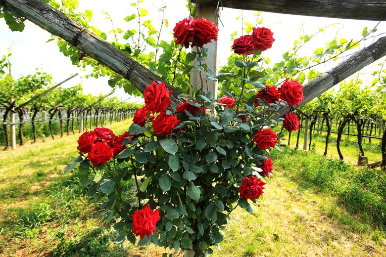 Vendemmia in arrivo: perché si piantano le rose accanto alle viti?