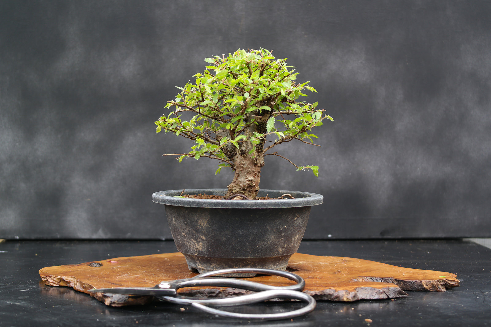 Un bonsai è per la vita. La bellezza del tempo in una pianta