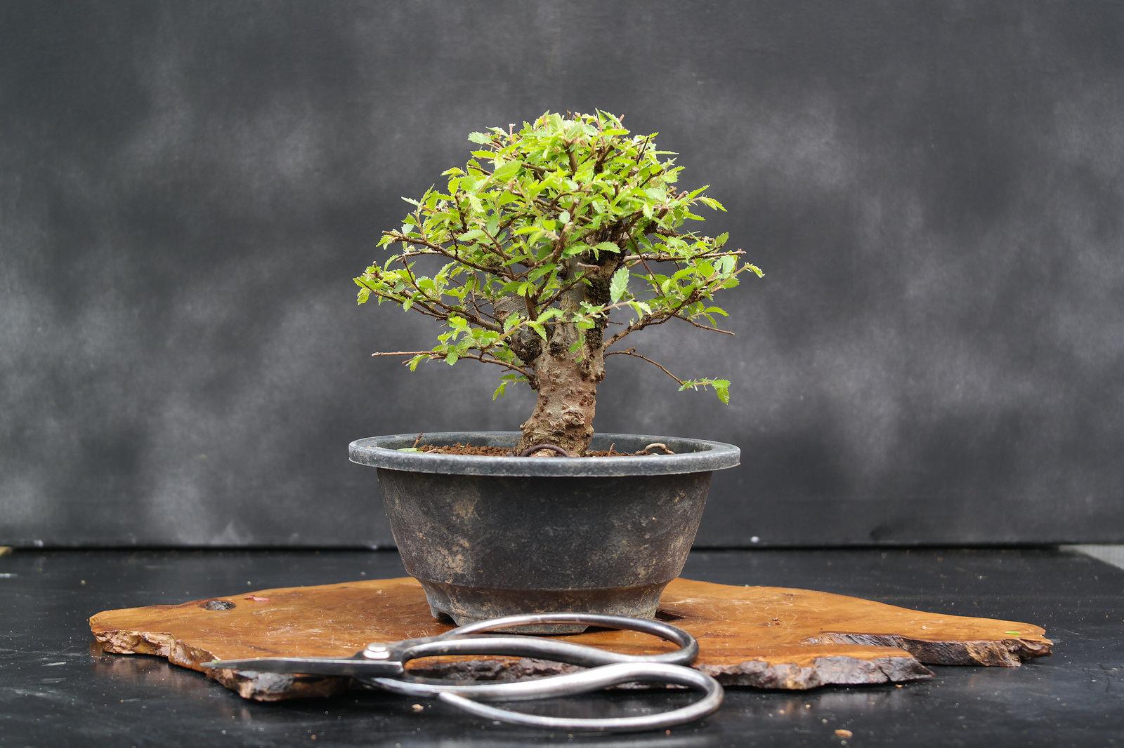 Un bonsai è per la vita. La bellezza del tempo in una pianta